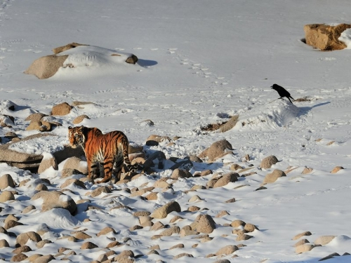 Can the Siberian Tiger Make A Comeback?-February 2015