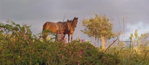 Vieques Horse Portrait, DG Krueger
