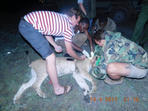 April 2017-The first of two Banovich Wildscapes Foundation GPS Collars are placed on a lioness