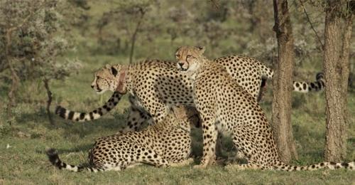 Cheetah Collar Update