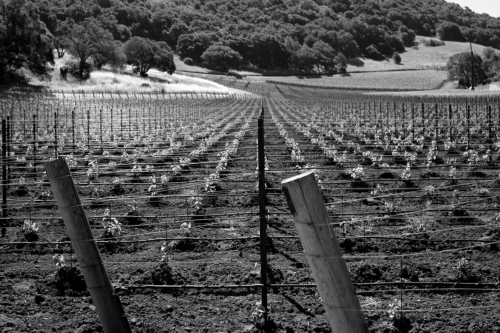 An early image of just-planted vineyard on the estate