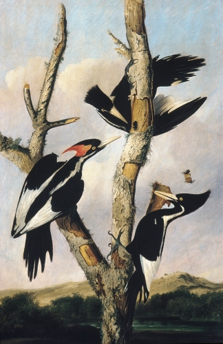 Ivory-billed Woodpeckers, ca. 1830–31