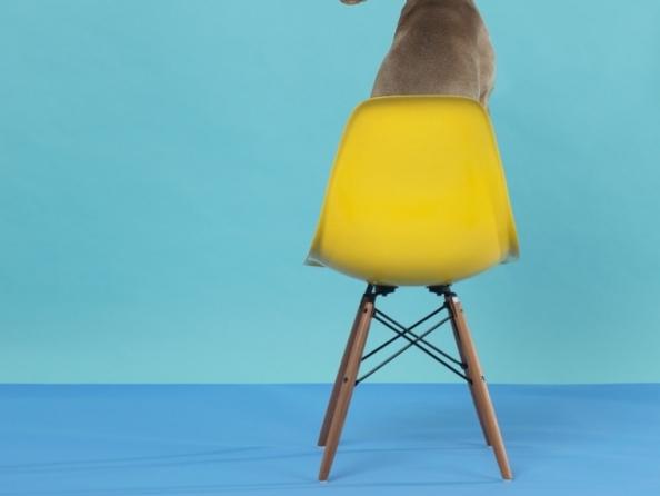 William Wegman | Good Dogs on Nice Furniture