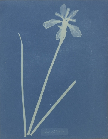 Anna Atkins: Botanical Illustration and Photographic Innovation
