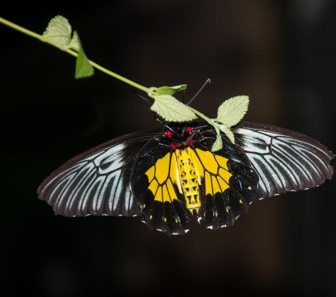 Swallowtail's