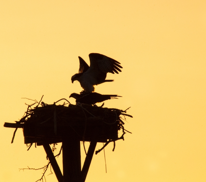 Eagles & Osprey