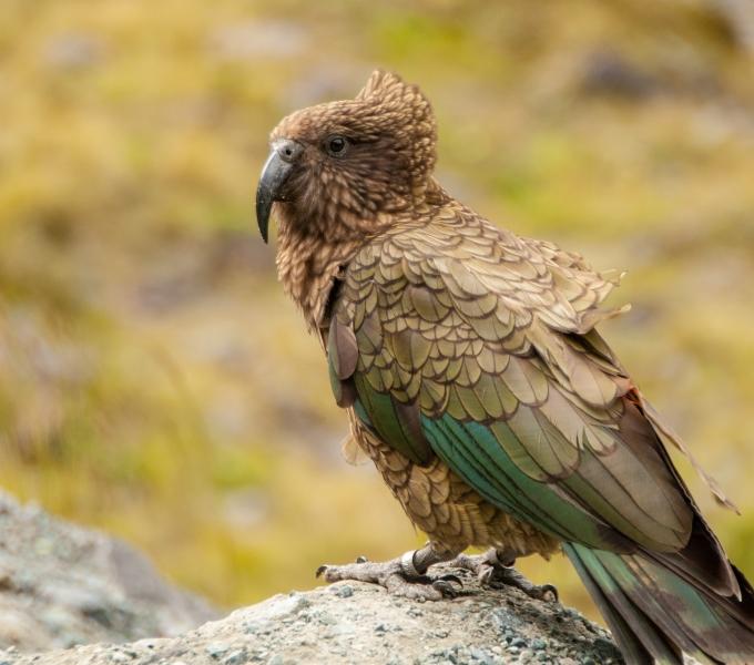 Parrots & Allies