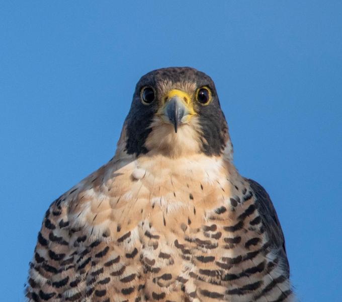 Falcons & Kites