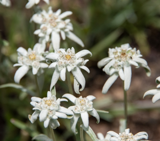 European Alpine Wildflowers (Switzerland)