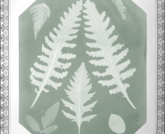 Amelia E. BERGNER (American, 1853-1923) Seven botanical specimens, circa 1877 Photogram on chromate based printing-out paper, 28.9 x 22.9 cm