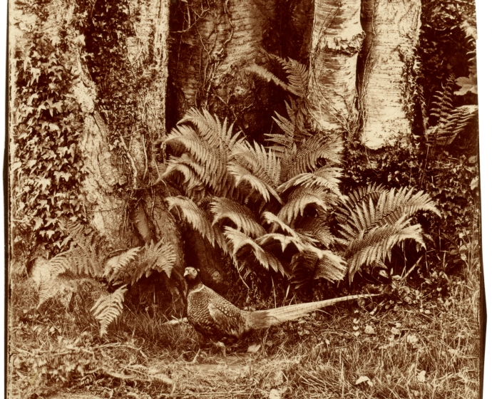John Dillwyn LLEWELYN (Welsh, 1810-1882) Pheasant and ferns, Penllergare, early 1850s Albumen print from a glass negative