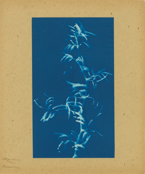 """Bertha E. JAQUES (American, 1863-1941) """"Algerobus Tree, Honolulu"""", 1908 Cyanotype photogram 24.6 x 14.4 cm mounted on 30.5 x 25.5 cm paper Titled in ink on mount. """"P"""" in ink on mount verso."""