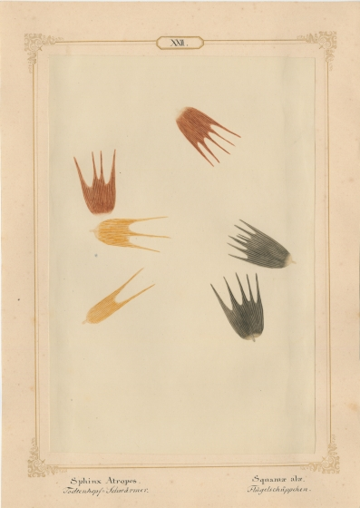 """Ernst HEEGER (Austrian, 1783-1866) """"Haemerobius hirtus. Ala (anter:)"""" (Forewing of brown, shaggy lacewing), 1860 Hand colored salt print from a glass negative 20.6 x 13.7 cm mounted on 26.0 x 18.5 cm sheet  Numbered and titled in Latin and German in ink on mount"""