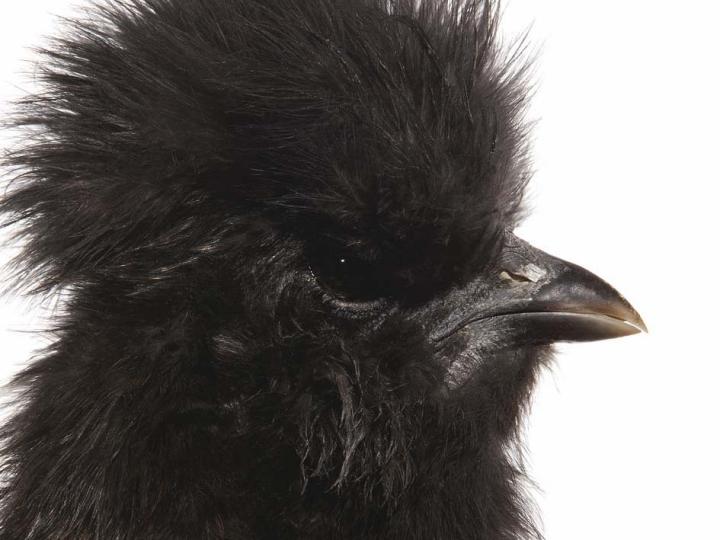 Koen Vanmechelen Cosmopolitan Chicken Project