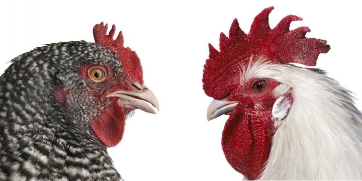 KOEN VANMECHELEN Cosmopolitan Chicken Project (DC) 2009.