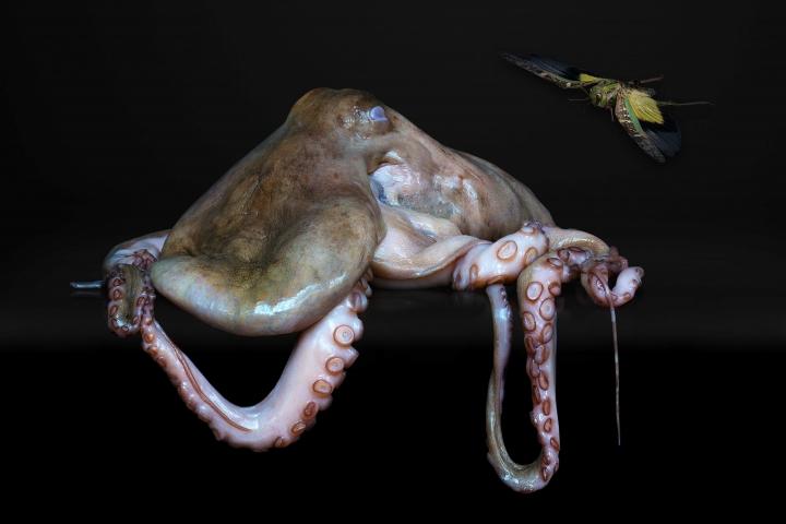 Agniet Snoep Still Life Series Octopus