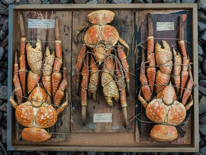 ROSAMOND PURCELL  Coconut crabs (Birgus latro) 2012