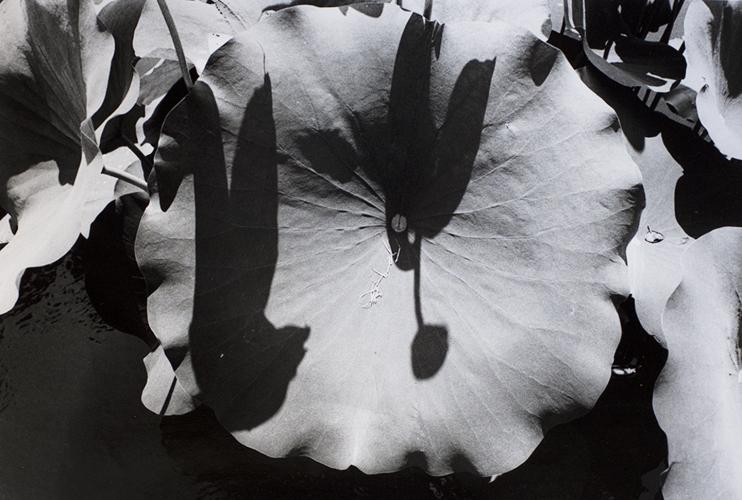 New York Botanical Gardens, Bronx, NY (lotus) 2012
