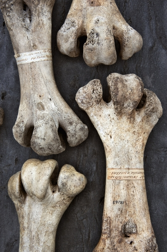 ROSAMUND PURCELL  Leg Bones from the Moa of New Zealand 2012