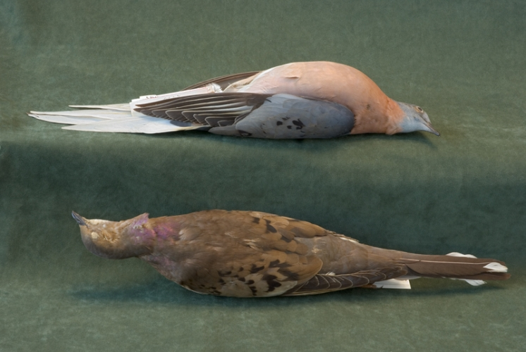 ROSAMOND PURCELL  Study skins of Passenger Pigeons (Ectopistes migratorius), with feathers and colors intact 2008