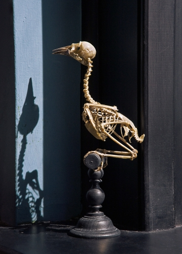 ROSAMOND PURCELL  Mounted bird skeleton, Duc de Rivoli collection. Given by T.B. Wilson in 1846 2012