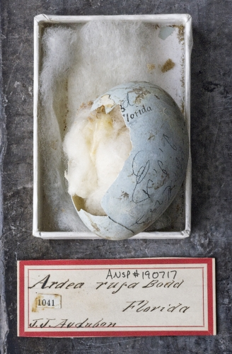 ROSAMOND PURCELL  Reddish Egret egg collected by John James Audubon in Florida 2012