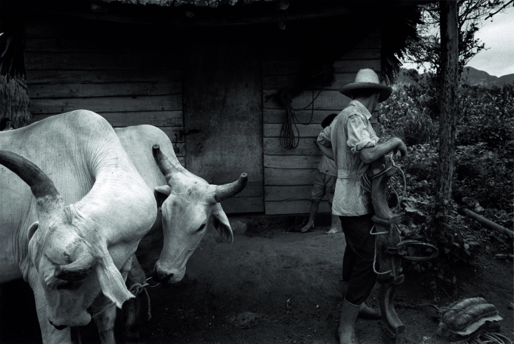 SUSAN S. BANK, Julieto and white oxen, 2002-2007