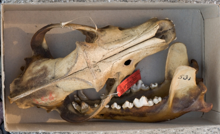 ROSAMOND PURCELL  Wolf skull (Canis lupus, syntype of Canis gigas) 2012