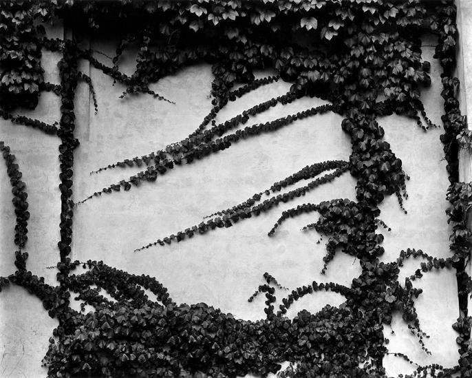 Brett Weston - Ivy on Wall, New York