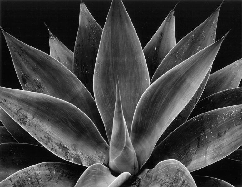 Brett Weston- Century Plant