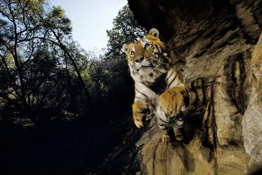 Nichols Tiger