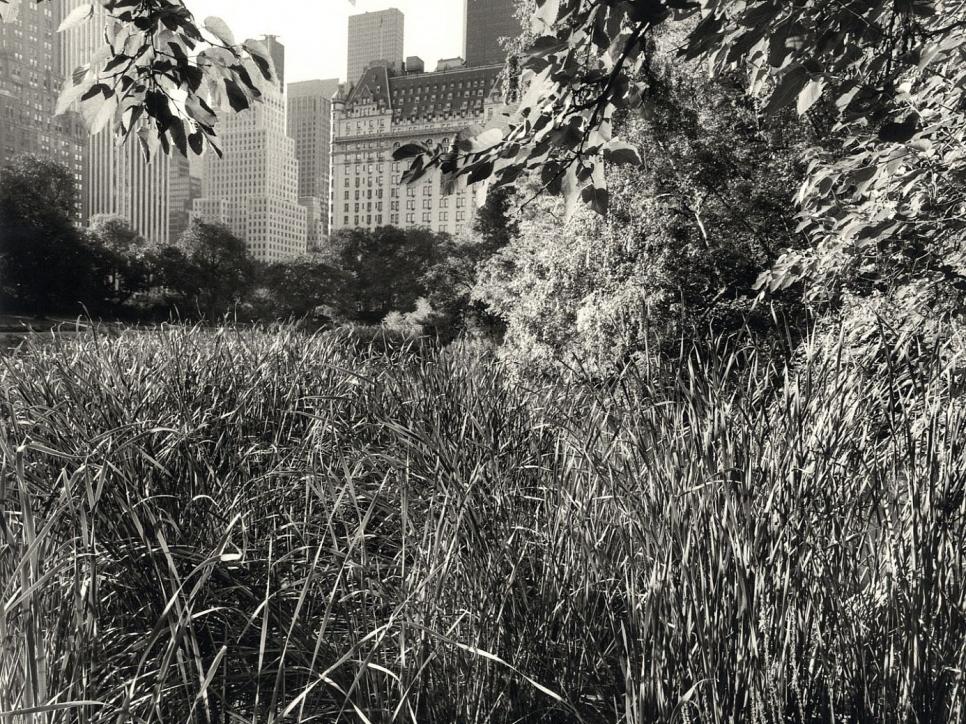 central park tall grass