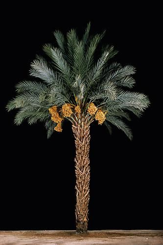 Tamar #1 (Date Palm), 2011