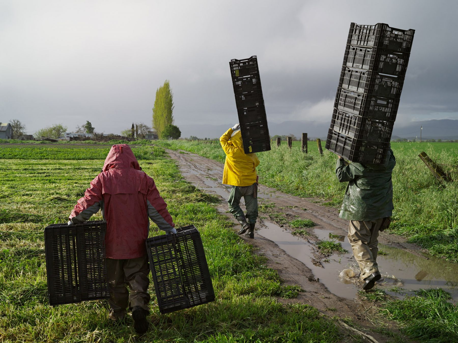 LUCAS FOGLIAJesús, José, and Luis Harvesting Turnips and Miner's Lettuce, Heirloom Organic Gardens, California, 2011