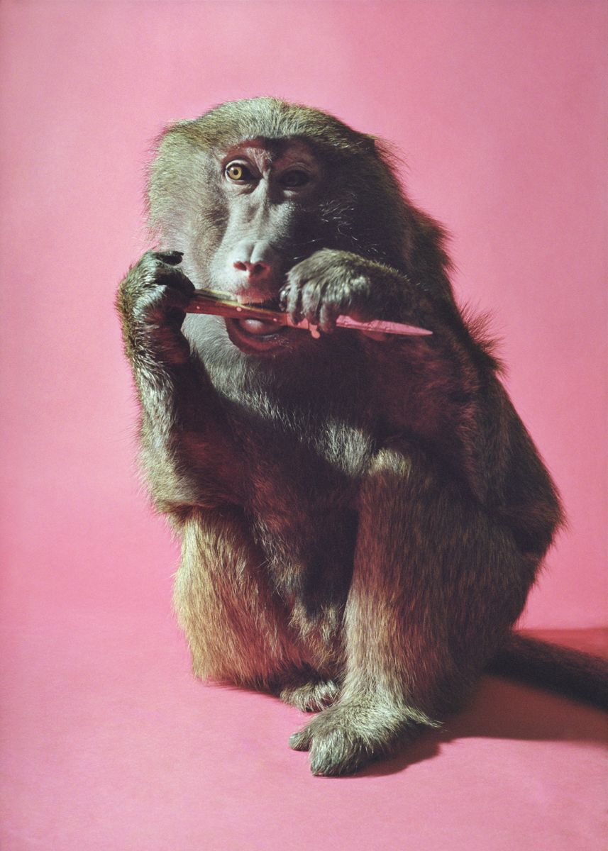 Heji Shin Male Chimp, 2016 C-print 31.5 x 22.44 inches (80 x 57 cm)