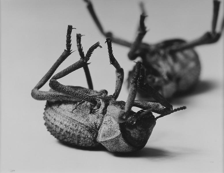 Christopher Williams Tenebrionidae, Death Feining Beetle (Nr. 2), 1996