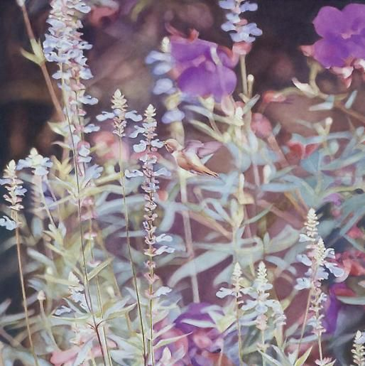 Hummingbird in Salvia