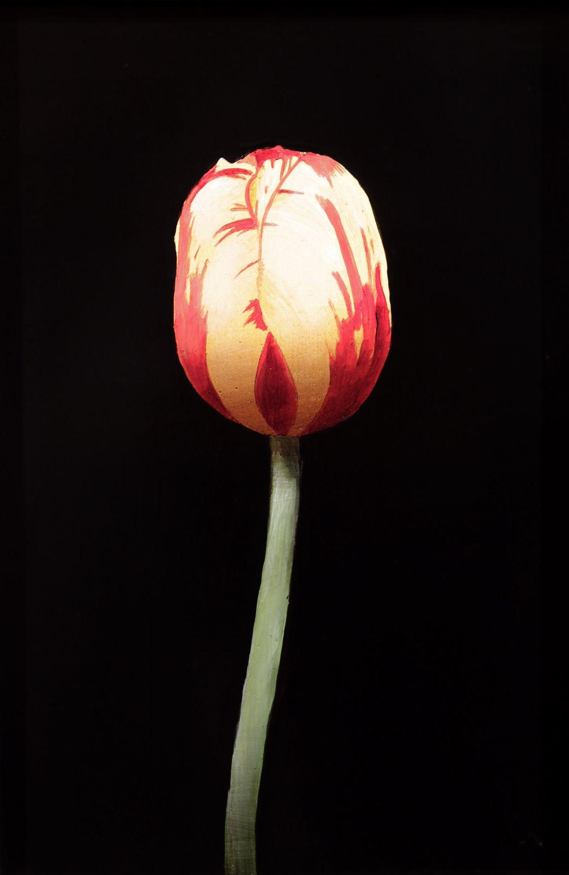 Yellow & Red Tulip