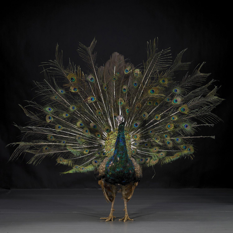 Hero - Peacock No.9