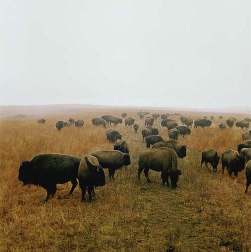 Bison at Maxwell Game Preserve, Roxbury, Kansas, December, 1981,30 x 30or 40 x 40 inch chromogenic print