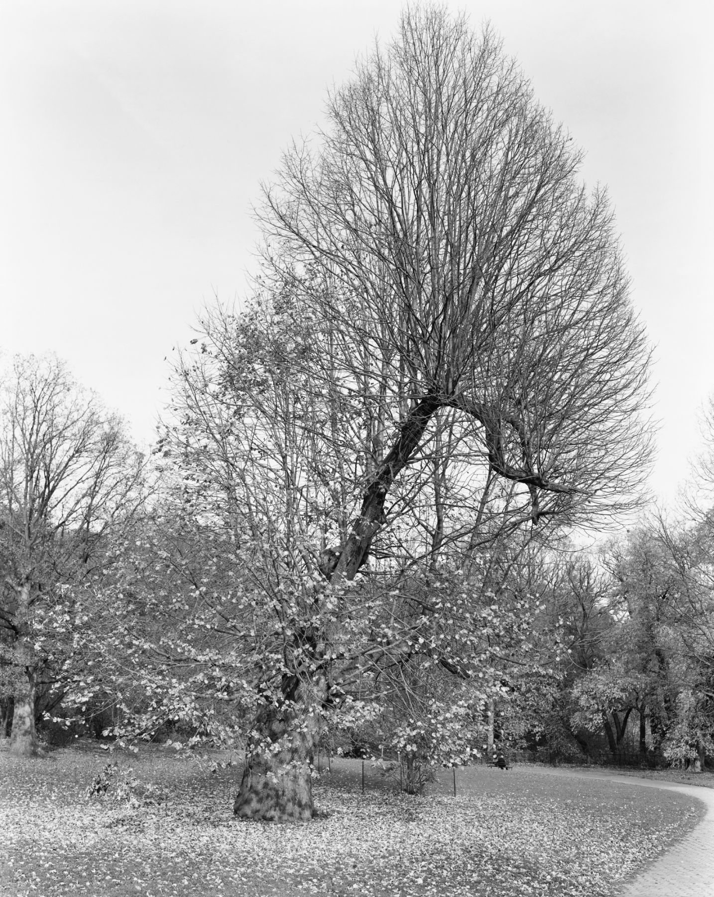 Silver Linden, Prospect Park, Brooklyn, from the series New York Arbor, 2011. Gelatin silver print, 40 x 30 or 68 x 54 inches.