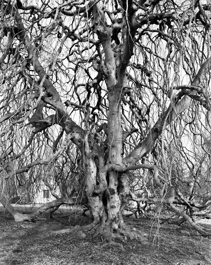 Weeping Beech, Woodlawn Cemetery, Bronx, from the series New York Arbor, 2011. Gelatin silver print, 40 x 30 or 68 x 54 inches.