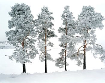 Four Trees, Ferrapontou, Russia, 2004, Chromogenic print, available 30 x 40 inches edition of 10, 70 x 90 inches edition of 3