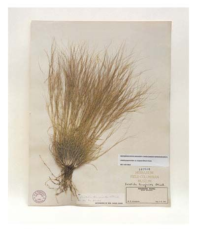 Three-awned grass, Colorado, 1892, from the series Specimens, 2000, 24 x 20or 34 x 26 inch Iris print