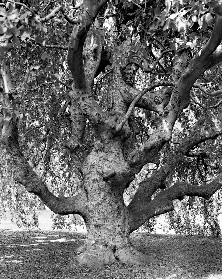 Weeping Beech, Brooklyn Botanic Garden, from the series New York Arbor, 2011. Gelatin silver print, 40 x 30 or 68 x 54 inches.