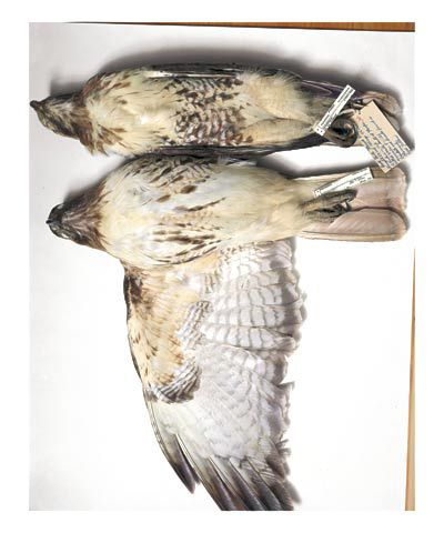 Red-tailed hawks, Wisconsin, 1987; Nebraska, 1926, from the series Specimens, 2001,24 x 20 or 34 x 26 inch Iris print