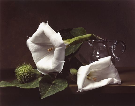 Photograph by Sharon Core titled Early American, Jimson Weed of two large white flowers arranged in the style of a classical painting