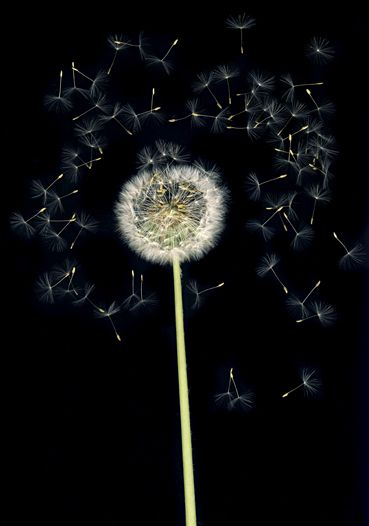 Flowers #6, Untitled (Puste/Dandelion), 2010, 10 x 7 inch chromogenic print
