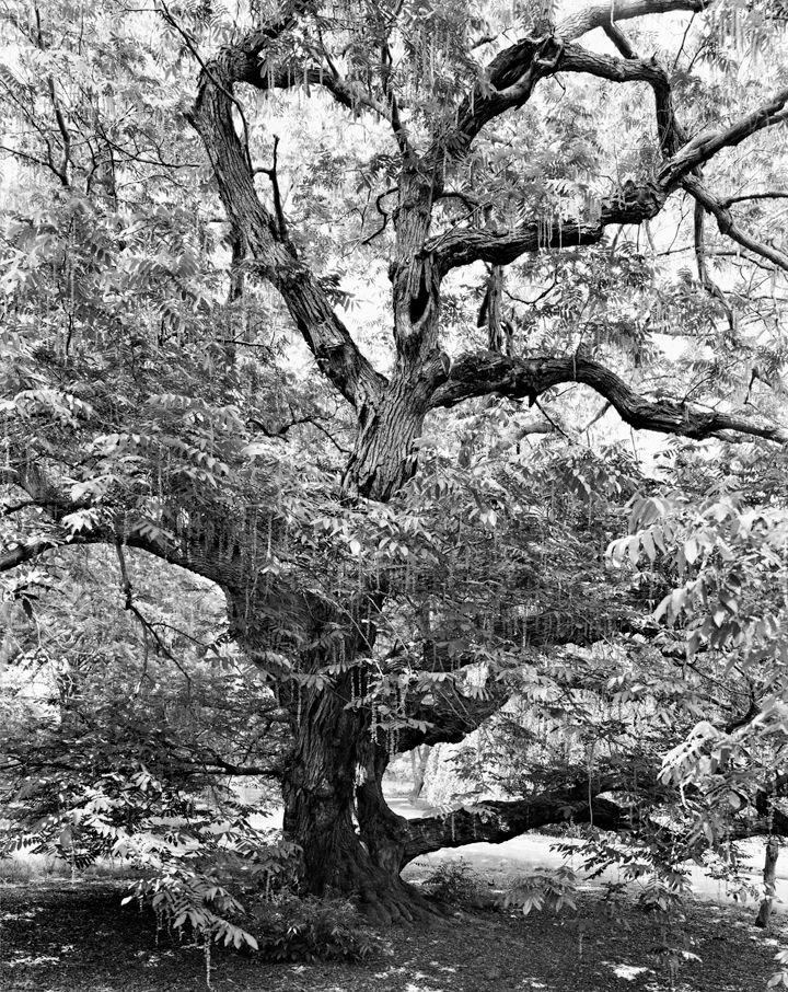 Caucasian Wingnut, Brooklyn Botanic Garden, from the series New York Arbor, 2011. Gelatin silver print, 40 x 30 or 68 x 54 inches.