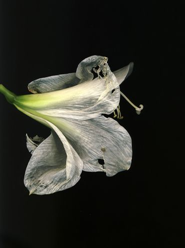 Flowers #3, Untitled (Amarili Old), 2009, 10 x 7 inch chromogenic print